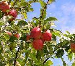 croqueurs de pommes
